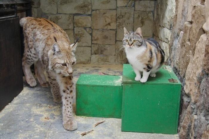 山猫と一緒に育った猫、自分を山猫だと勘違い?