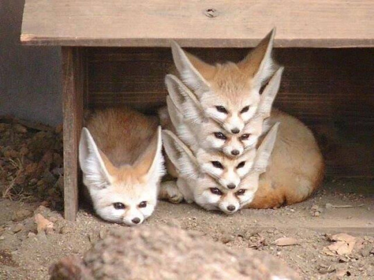 Fennec tower